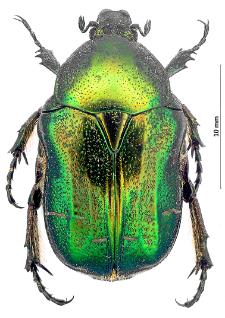 Cetoniaaurata(Linnaeus, 1758)