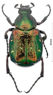 Gnorimus nobilis (Linnaeus, 1758)