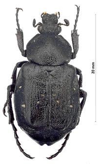Gnorimus variabilis(Linnaeus, 1758)