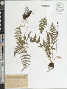 Cystopteris fragilis (L) Bernh.