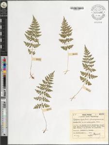 Cystopteris fragilis Bernh. var. dentata Hook.-anthriscifolia Koch