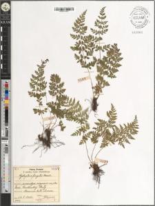 Cystopteris fragilis Bernh.