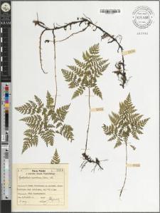 Cystopteris montana (Lam.) Lk.
