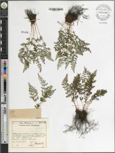 Cystopteris alpina (Lam.) Desv.