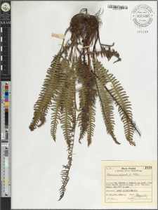 Blechnum spicant (L.) Wither