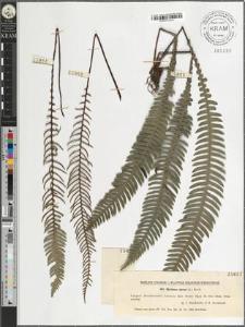 Blechnum spicant (L.) Roth