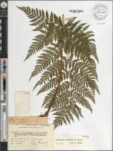 Dryopteris expansa (C. Presl) Fraser-Jenk. & Jerm