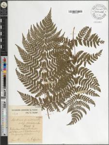 Aspidium spinulosum Sw. subsp. dilatatum Sm.