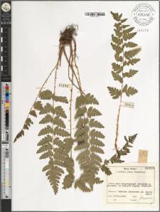 Dryopteris cristata (L.) A. Gray