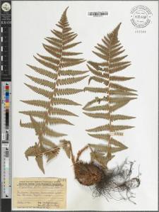 Dryopteris filix mas (L) Schott