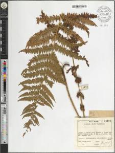 Oreopteris limbosperma (Bellardi ex All.) Holub