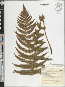 Aspidium montanum Aschers.