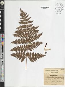 Polystichum spinulosum DC.