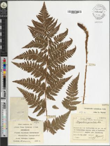 Dryopteris spinulosa Watt