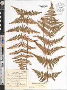 Aspidium spinulosum Sw. var. elevata Al. Br.
