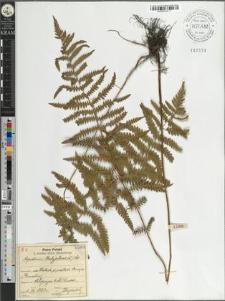 Aspidium thelypteris (L.) Sw.