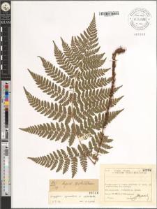Dryopteris carthusiana × dilatata (Hoffm.) A. Gray