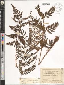 Aspidium spinulosum Sw. DC.