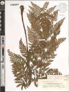 Dryopteris austriaca (Jacq.) Voynar