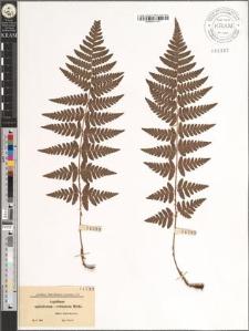 Aspidium spinulosum × cristatum Milde