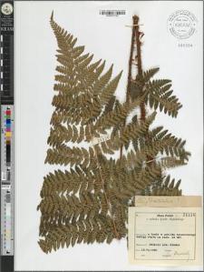 Dryopteris dilatata × ?