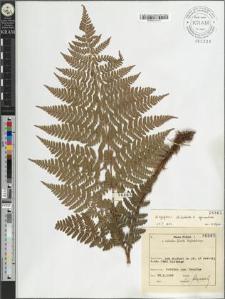 Dryopteris dilatata (Hoffm.) A. Gray × carthusiana (Vill.) H. P. Fuchs