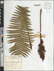 Matteucia struthiopteris (L.) Tod.