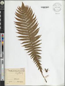 Onoclea struthiopteris (L.) Hoffm.