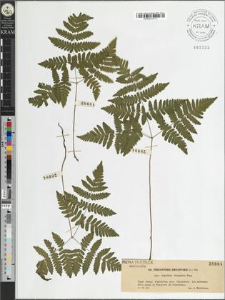 Phegopteris dryopteris (L.) Fee