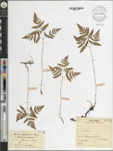 Aspidium dryopteris (L.) Baumg.