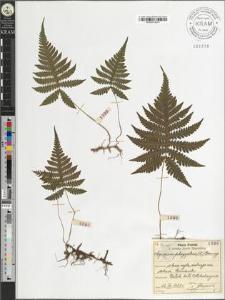 Aspidium phegopteris (L.) Baumg.