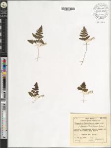 Phegopteris Robertiana (Hoffm.) A. Br.