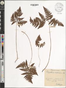 Polypodium calcareum Sm.