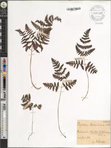 Phegopteris Robertiana A. Br.