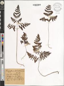 Phegopteris Robertianum A. Br.