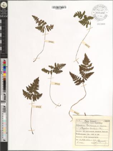 Aspidium Robertianum (L.) Luerssen