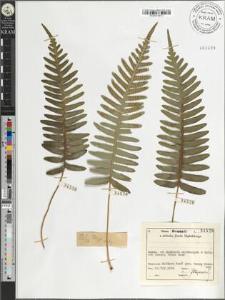 Polypodium vulgare L.