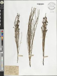 Equisetum palustre L. fo. polystachyum