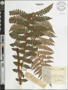 Polystichum braunii (Spenn.) Fee