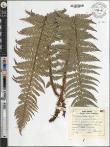 Aspidium lobatum (Huds.) Sw. var. auriculata Lssn.