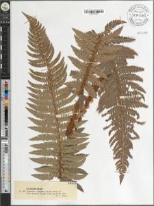 Polystichum lobatum (Huds.) Pr.