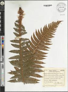 Aspidium lobatum (Huds.) Sw. × Braunii Spenner