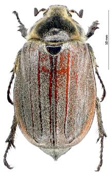 Melolontha hippocastaniFabricius, 1801
