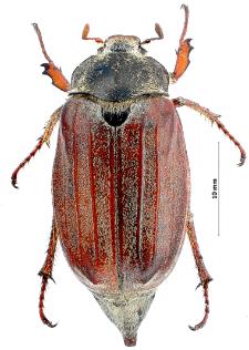 Melolonthamelolontha(Linnaeus, 1758)
