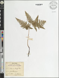 Pteridium aquilinum (L.) Kuhn.