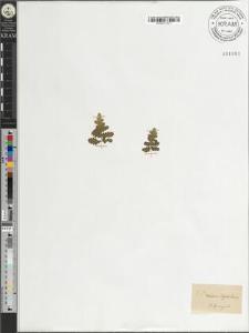 Woodsia hyperborea