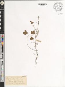 Marsilea quadrifoliata L.