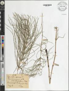 Equisetum arvense L. var. nemorosum A. Br. i pseudosilvaticum Milde A. Br. i Milde