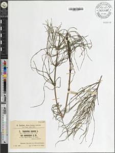 Equisetum arvense L. var. nemorosum A. Br.