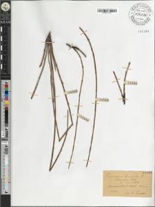 Equisetum hiemale L. var. schleicheri Milde fo. minor Milde